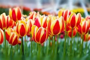 Tulpen Im Garten : tulpenblumenbeet rot gelbe tulpen im garten stockfoto ~ A.2002-acura-tl-radio.info Haus und Dekorationen