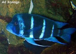 Cyphotilapia frontosa Nangu blue neon Cichlid Lovers