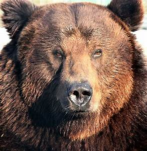 Grizzly Bear Portrait Free Stock Photo