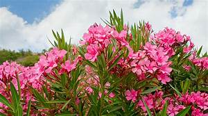 Oleander Extract U0026 39 S Success Against Cancer And Other Disease
