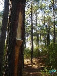 Parquet Pin Des Landes : le pin des landes baby 32 ~ Dailycaller-alerts.com Idées de Décoration