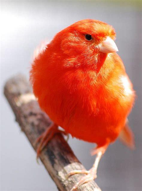 Red Canary Bird