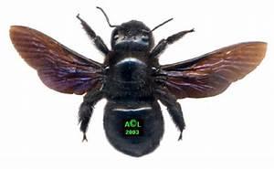 Insecte Qui Mange Le Bois : abeille charpenti re ou xylocope xylocopa violacea ~ Farleysfitness.com Idées de Décoration