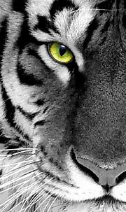 black n white photo tiger face close up iPhone 5 ...