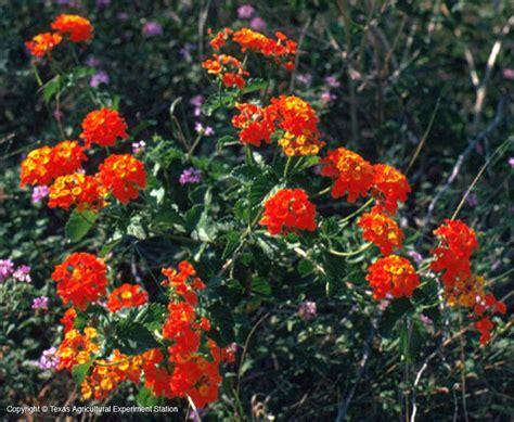 flowering vines native  texas  native vines flowering