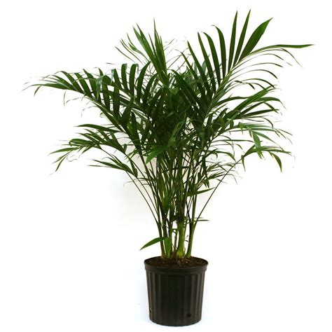 delray plants cateracterum palm in 9 1 4 in pot 10cat the home depot