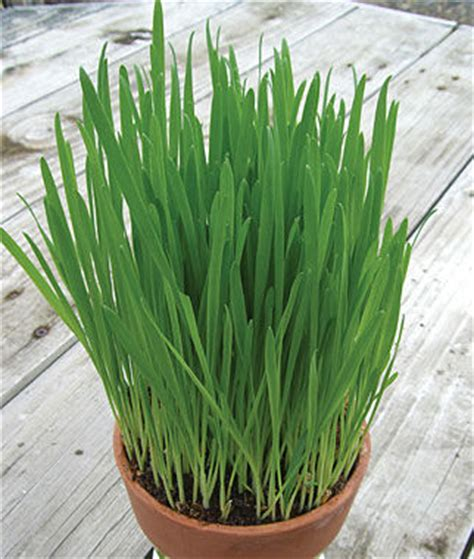cat grass seeds and plants herb gardening at burpee
