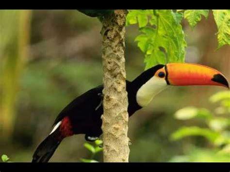 sounds  nature amazon rainforest youtube