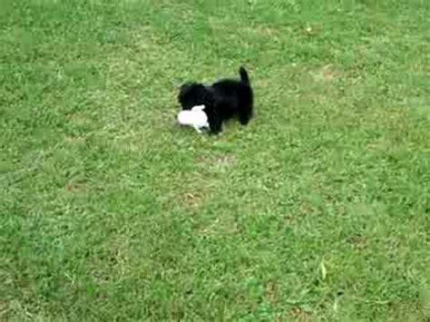 black long hair chiweenie running   energy youtube