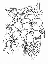 Coloring Flower Pages Frangipani Plumeria Colouring Printable Adults Sheets Flowers Adult Peony Floral Patterns Print Drawing Designs Books Getcolorings Beach sketch template