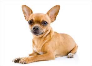 loss of pet chihuahua all small dogs photo 14496247 fanpop