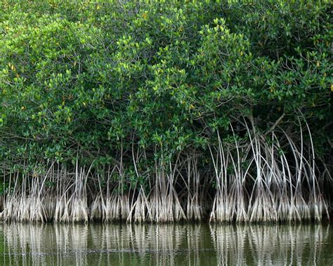 What – I Can't Trim my Mangroves!   Turning Green into Gold