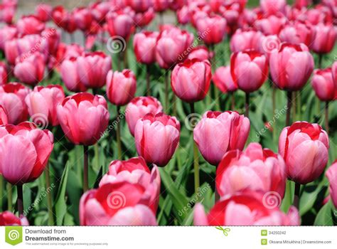 Blooming Dense Flowerbed Of Pink Tulips Stock Photography