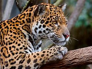 Jaguar Full HD Wallpaper and Background Image   1920x1440 ...