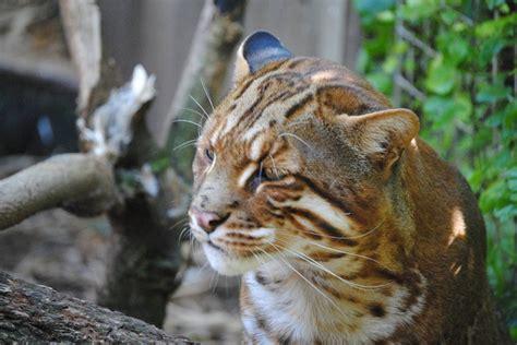 Asian Golden Cat Big Cats Small All