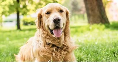 Retriever Golden Dog Names Amazing Dogvills