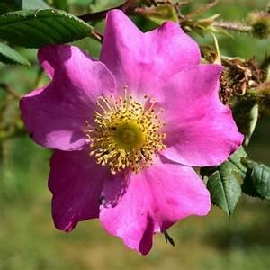Sträucher Online Kaufen : rose rosa x coryana rosen online kaufen bei schmid gartenpflanzen ~ Buech-reservation.com Haus und Dekorationen
