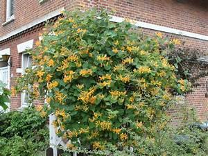 Immergrüne Kletterpflanze Für Zaun : gei blatt tellmaniana gold gei schlinge lonicera ~ Michelbontemps.com Haus und Dekorationen