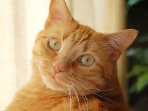 tabby cat facts 20 facts about orange tabby cats orange cats cat