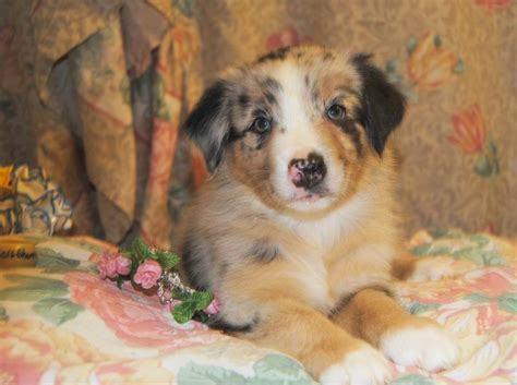 weeks rose dog dogs born sleeping puppy he puppies come enough she shamrock aussies past sleep disney down them would