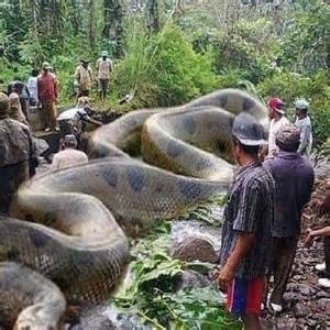 Largest Snake Ever Recorded in History