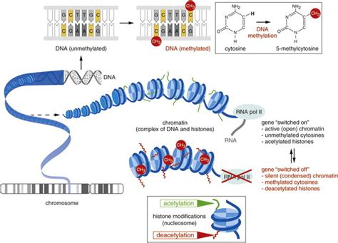 Diagram Of Chromatin by Chromatin Modifications Mediated By Dna Methylation And