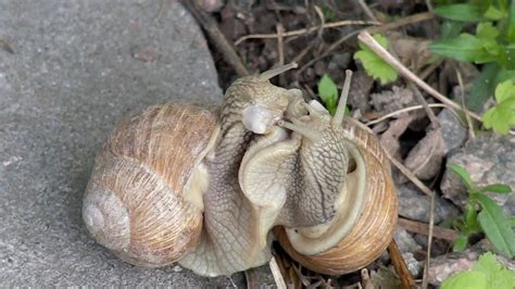 Snail Sex Coitus Interruptus Youtube