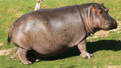 hippopotamus pictures kids search