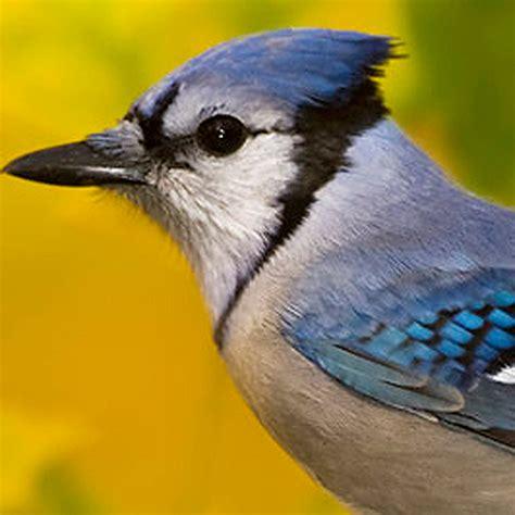 blue jay bird call wildtones