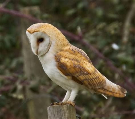 barn owl facts barn owl amazing animal basic facts pictures animals