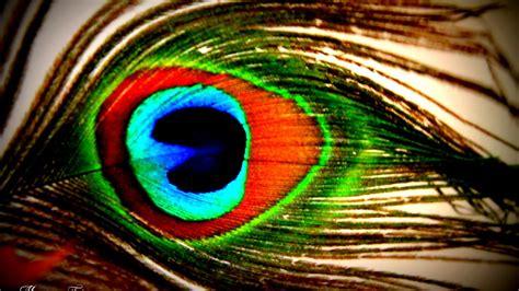peacock feathers wallpapers  pixelstalknet