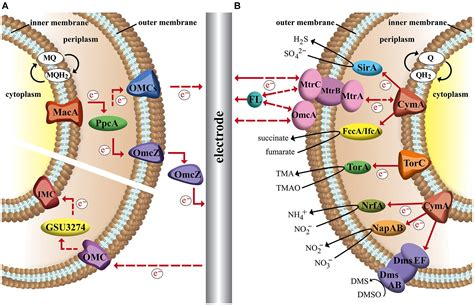 Frontiers | Microbial electron transport and energy ...