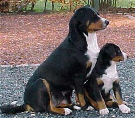 jean louis zeller appenzeller sennenhund foto 1763 hundund de