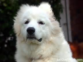 great pyrenees shedding dog breeds picture