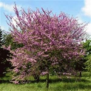 Arbre Croissance Rapide : le cerisier arbre fruitier tr s appr ci web libre ~ Premium-room.com Idées de Décoration