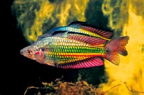 paee faeizah kertau kintus rainbow fish