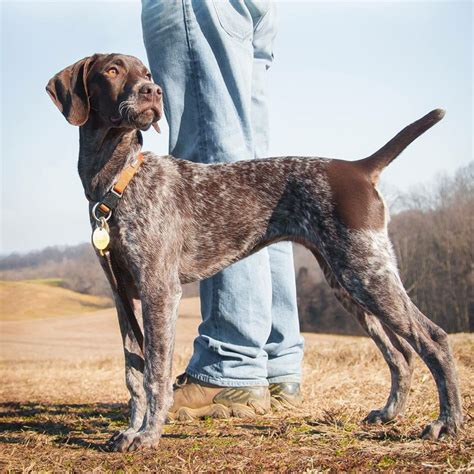 piper 4mth pointer dogs pinterest pointers german