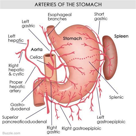 Diagram Of Stomach And by Understanding The Human Stomach Anatomy With Labeled