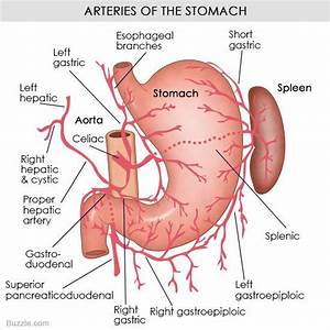 Understanding The Human Stomach Anatomy With Labeled