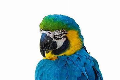 Parrot Cotorro Burung Beo Ave Render Bird