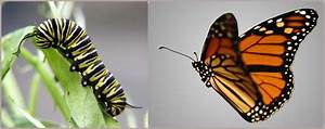 Caterpillar Into Butterfly Quotes  Quotesgram