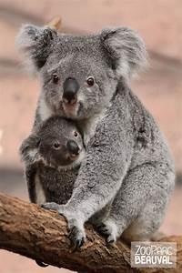 Bébé koala | My homeland | Pinterest