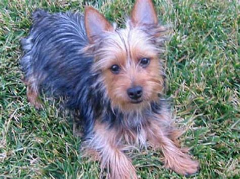 silky terrier dog breed history   interesting facts