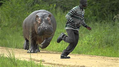 Man V.s Hippo