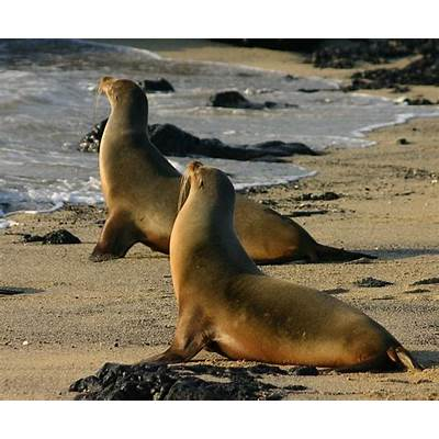 The Galapagos Sea Lion - Island Greeters