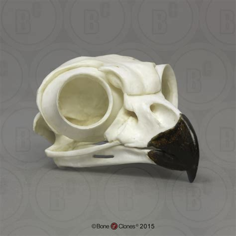Great Horned Owl Skull Bone Clones Inc Osteological