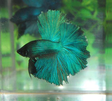 beta fish betta fish afira betta halfmoon new skyhawk sold out