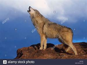 Timber, Wolf, Howling, Stock, Photo, 948561