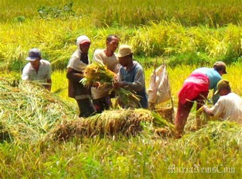 ramadan petani  gebog kudus lebih memilih panen padi