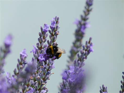 Gambar : alam mekar menanam ungu herba botani taman